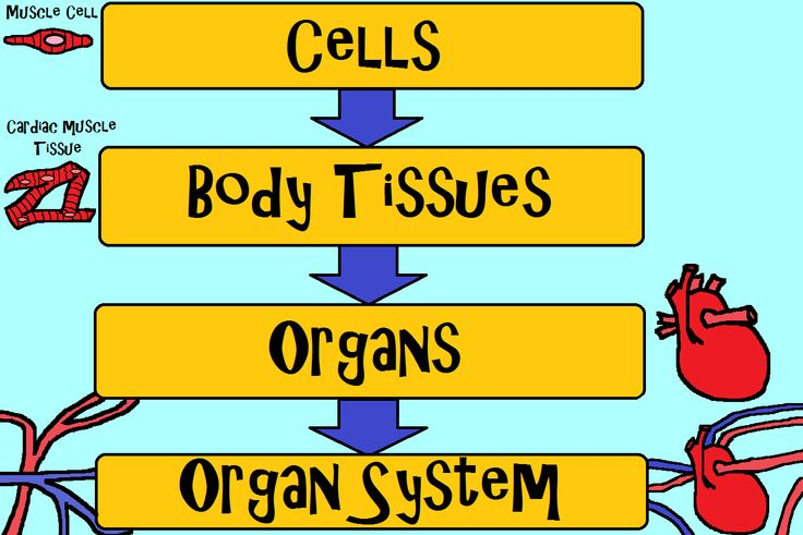 Science Curriculum. Cells Tissues Organs. Worksheet. Cells And Tissues Worksheet Answers At Clickcart.co