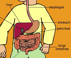 sciences animation digestion